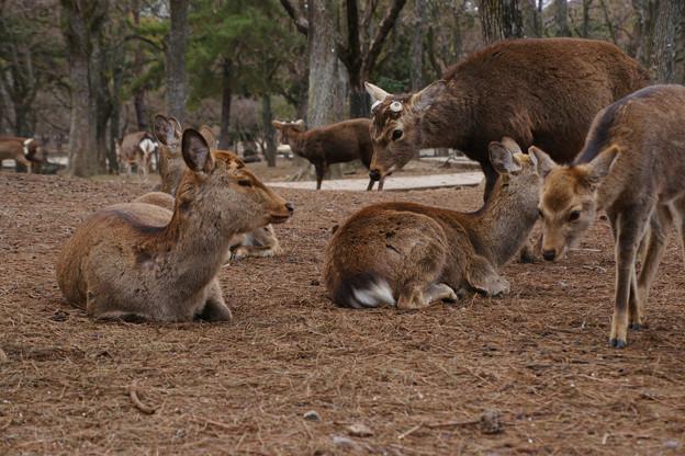 奈良公園の鹿たち_02