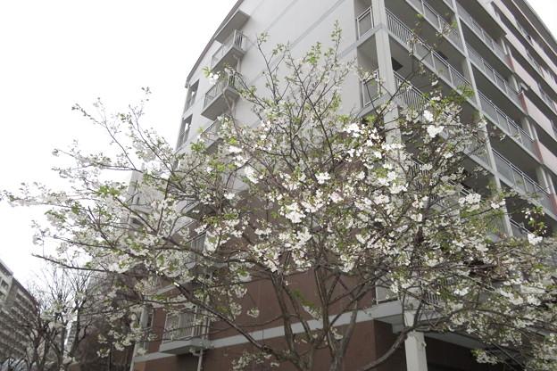 HATの桜満開_01