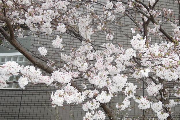 HATの桜満開_03