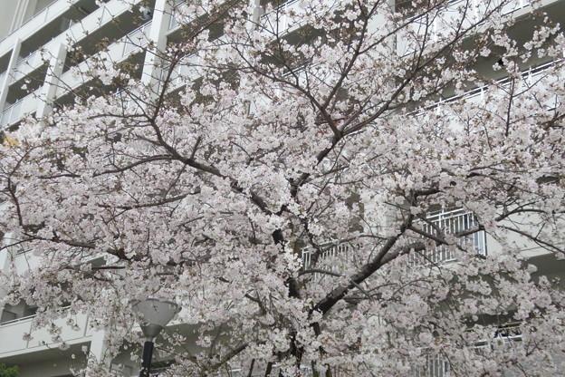 HATの桜満開_05