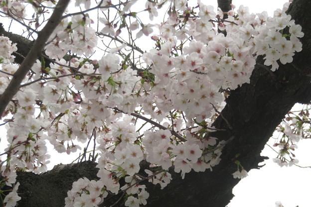 兵庫中学 桜満開_03