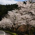Photos: 川代公園の桜_01