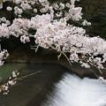 Photos: 川代公園の桜_03