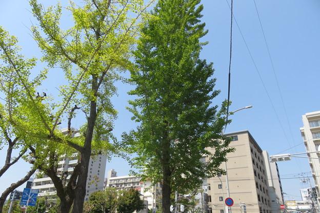 銀杏の新緑_02