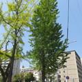 Photos: 銀杏の新緑_02
