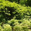 Photos: 新緑のドウダンツツジ