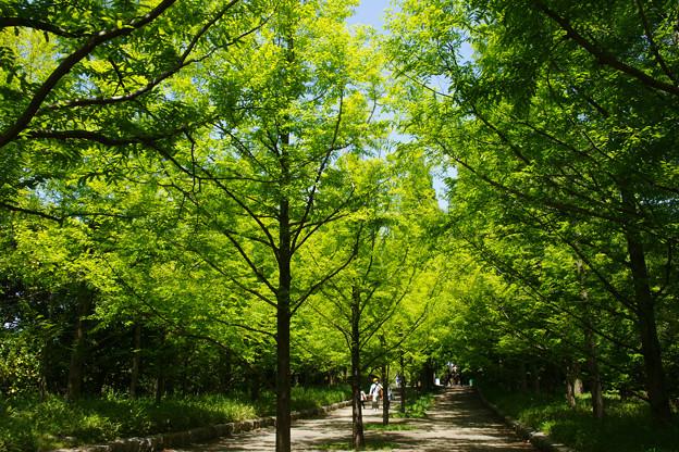 新緑のメタセコイヤ_01