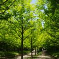 Photos: 新緑のメタセコイヤ_01