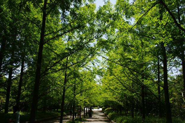 新緑のメタセコイヤ_02