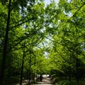 Photos: 新緑のメタセコイヤ_02