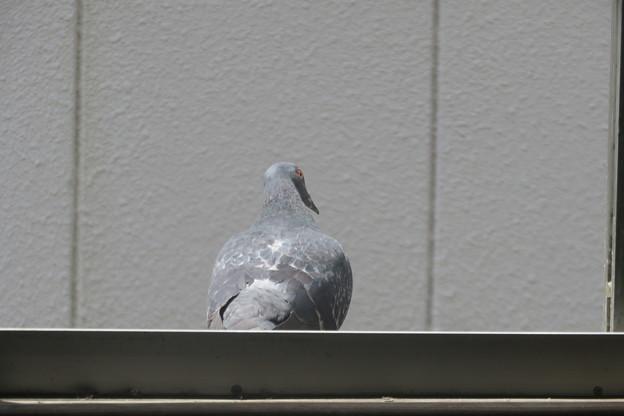 窓際のハト_02
