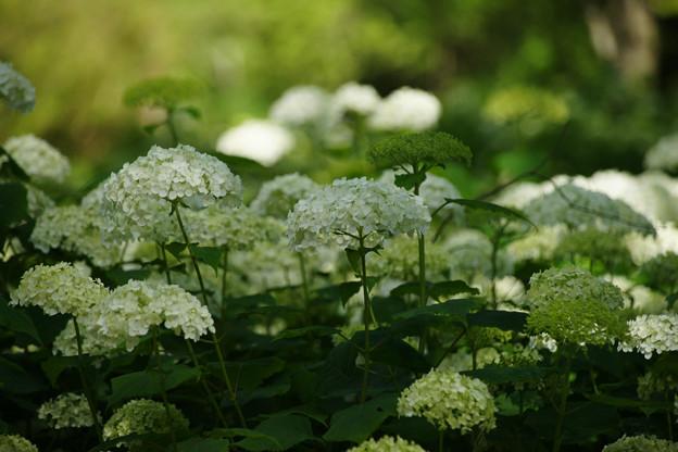 アナベル 白く咲く_04