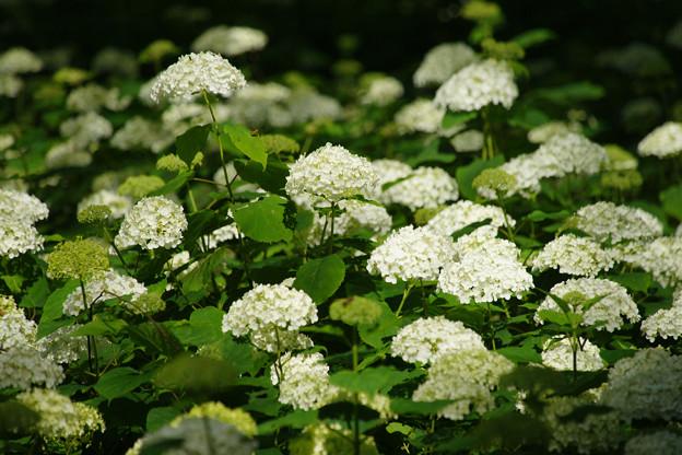 アナベル 白く咲く_05