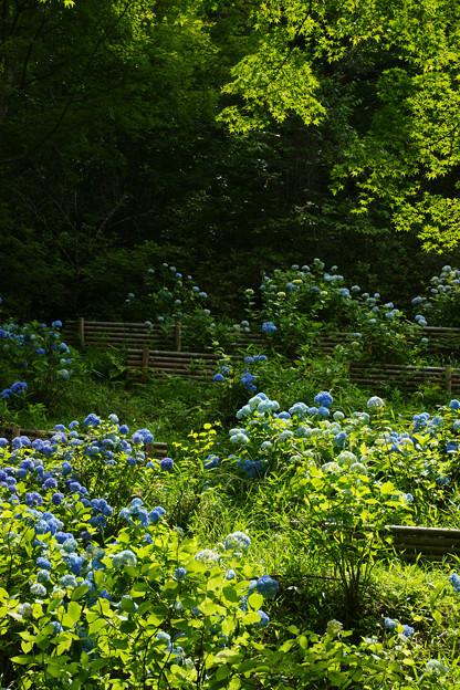 紫陽花と青モミジ