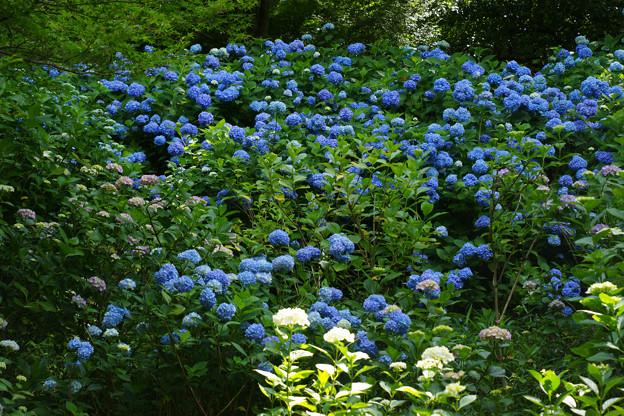 斜面に咲く紫陽花_02