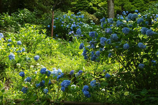 斜面に咲く紫陽花_03
