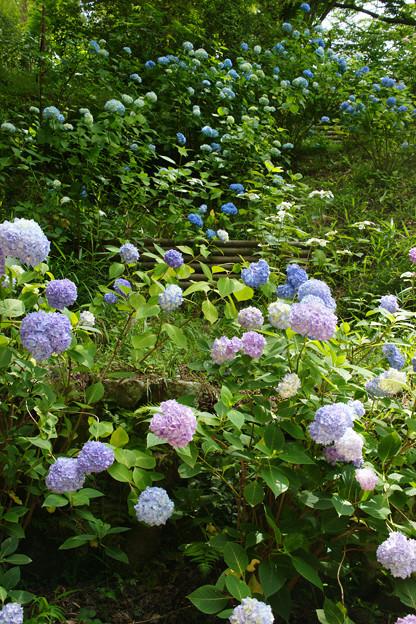 斜面に咲く紫陽花_04