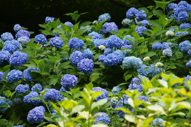 斜面に咲く紫陽花_05