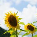 Photos: 青空に咲くひまわり_01