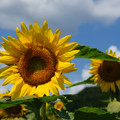 Photos: 青空に咲くひまわり_03