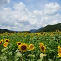 Photos: 青空に咲くひまわり_04