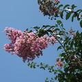 ピンクの百日紅_02
