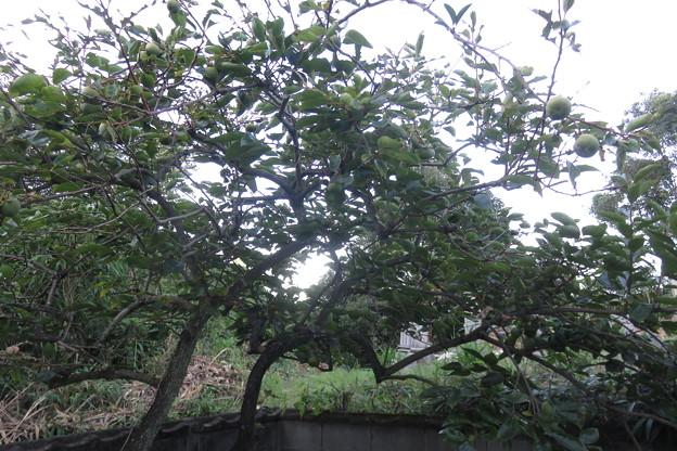 Photos: 岩国の家 柿の木_01