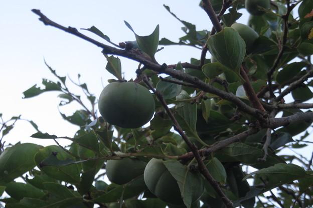 岩国の家 柿の木_02