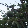 Photos: 岩国の家 柿の木_02