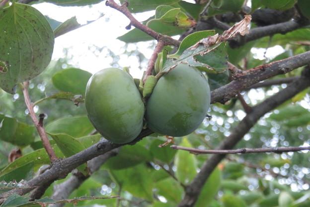 岩国の家 柿の木_03