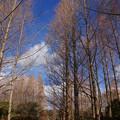 Photos: 落葉したメタセコイヤ並木