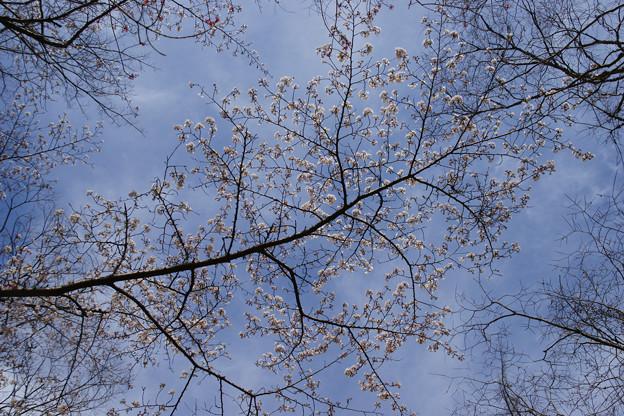 森林植物園の桜_01