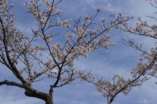 森林植物園の桜_02