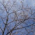 さくら園の桜_02