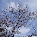 さくら園の桜_01