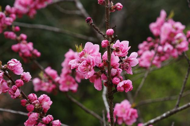 天津の森 モモの花