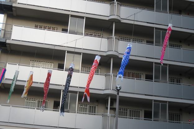 ポーアイ UR団地の鯉のぼり_01