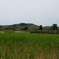 米子水鳥公園の葦