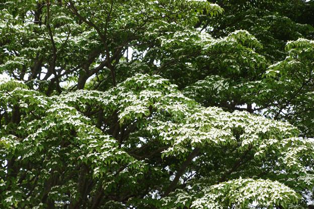 ヤマボウシの木_02