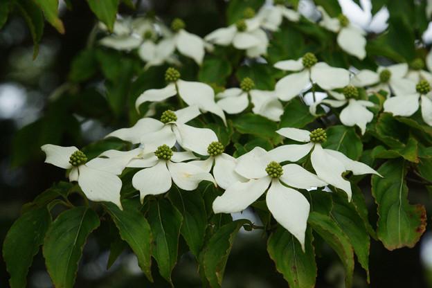 ヤマボウシの木 アップ_02