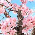 Photos: 姫路城の桜 - 1