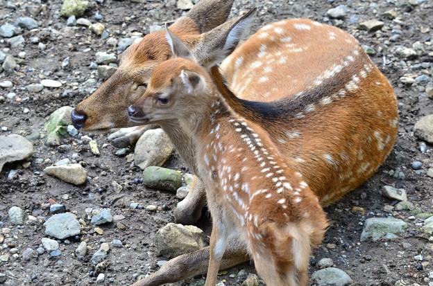 甘えん坊なのは人の子も小鹿も同じなのであった