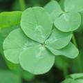 lucky clover +1