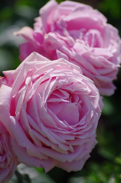 歌姫の薔薇