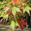 真夏の紅葉