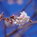 Photos: 冬に咲く桜