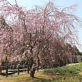 Photos: 枝垂れ桜 IMG_5737