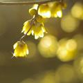 写真: 黄色の輝き