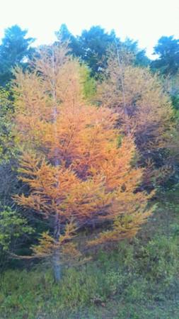 カラマツの木