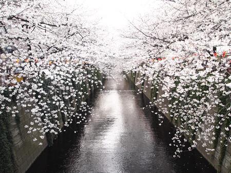 桜色舞う頃